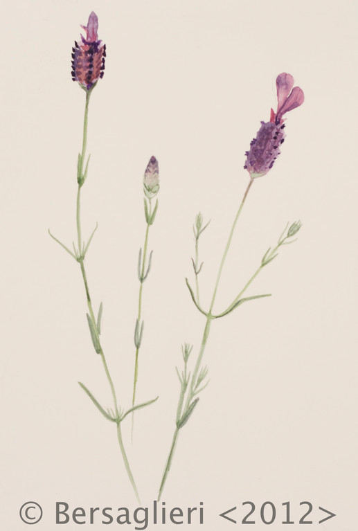 "Lavandula stoechas, watercolor on paper, 7""x9"", 2012"