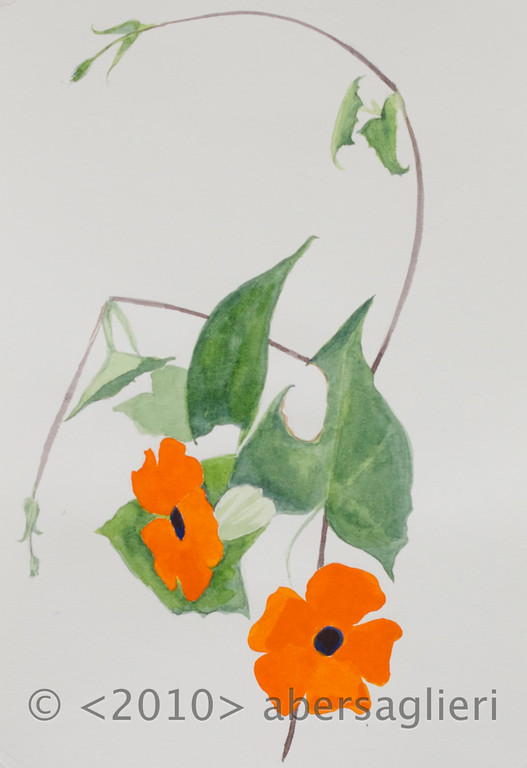 "Thunbergia alata, watercolor on paper, 7""x9"", 2010"