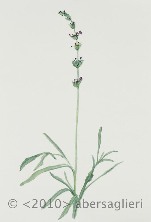 "Lavandula angustifolia, watercolor on paper, 7""x9"", 2010"