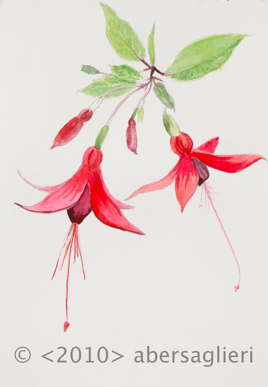 """Fuschia hybria, single, watercolor on paper, 7""""x9"""", 2010"""