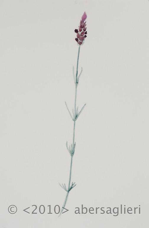 "Lavandula, watercolor on paper, 7""x9"", 2010"