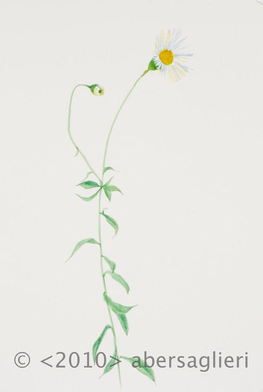 "Erigeron karvinskianus, watercolor on paper, 7""x9"", 2010"