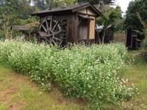 見頃になった蕎麦の花