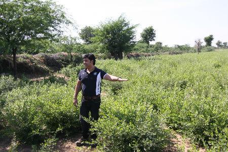 インドのヘナ畑 植物100%の本物のヘナ KEO社のヘナ