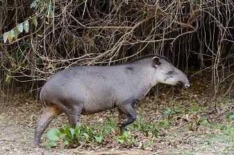 Равнинный тапир (Tapirus terrestris), Ориноко, Венесуэла