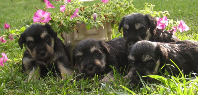 cachorros negro y plata