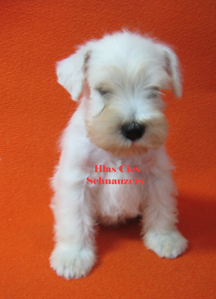cachorro de mini blanco del Kennel Illas Cies