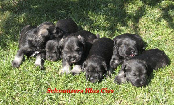 cachorrros schnauzer miniatura negros en el cesped