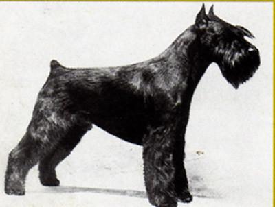 Schnauzer miniatura Negro criado en Italia e importado a U.S.A. en 1970 donde se convirtio en uno de los pilares de laraza