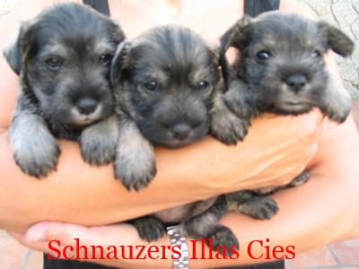 cachorros de Schnauzer mini sal y Pimienta del Kennel Illas  Cies