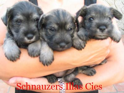 cachorros schnauzer miniatura sal y pimienta illas cies
