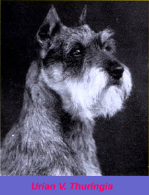 Fotografia del perro schnauzer Urian V. Thuringer