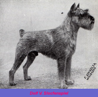 Fotografia del perro schnauzer Dolf V. Slocfenspiel