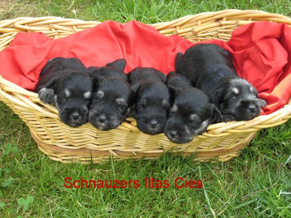 cachorros de schnauzer miniatura Negro y plata