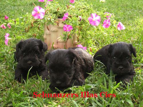 Cachorros de schnauzer miniatura negros del criadero Illas cies