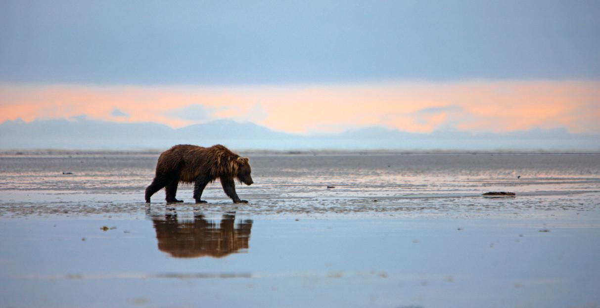 Alaska Bärenbeobachtung - picture Chris Lennan