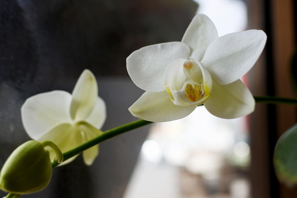教室の蘭が4年ぶりの開花です