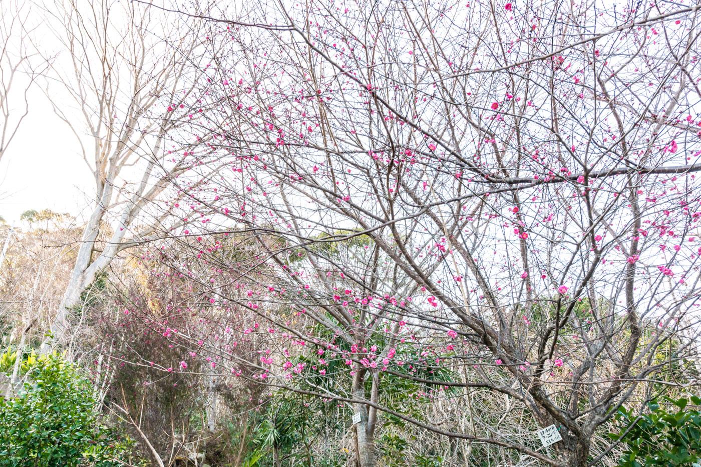 ハルカス・ガーデンの紅梅(2020年1月20日)