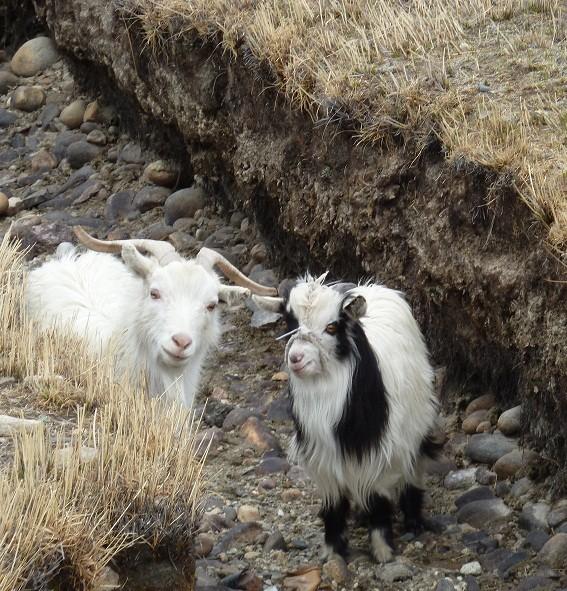 Unsere neuen Bekannten: zwei neugierige Geissli, die auf der Strasse herummhüpften