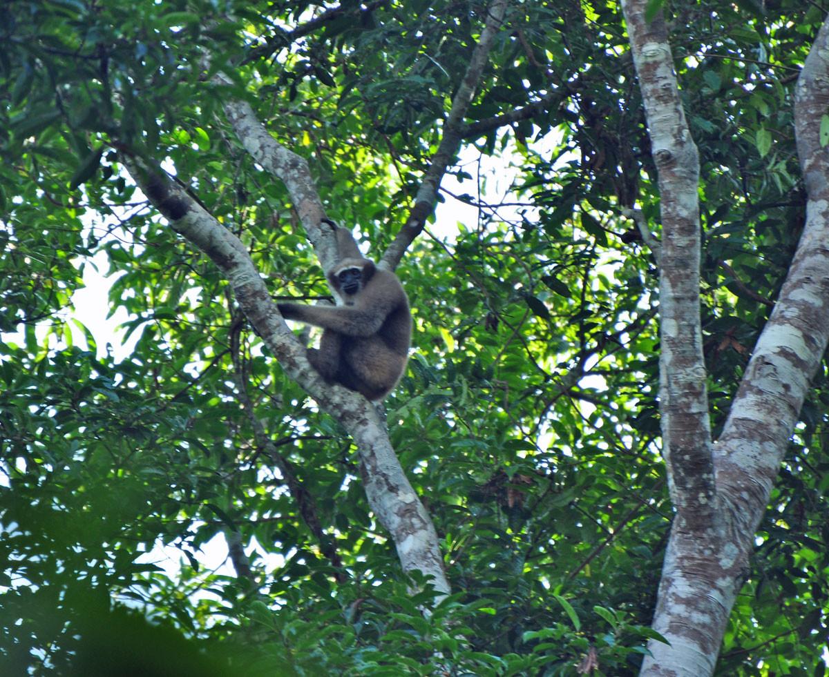 de Hoolock Gibbon, met uitsterven bedreigd (Lawaachara National Parc)