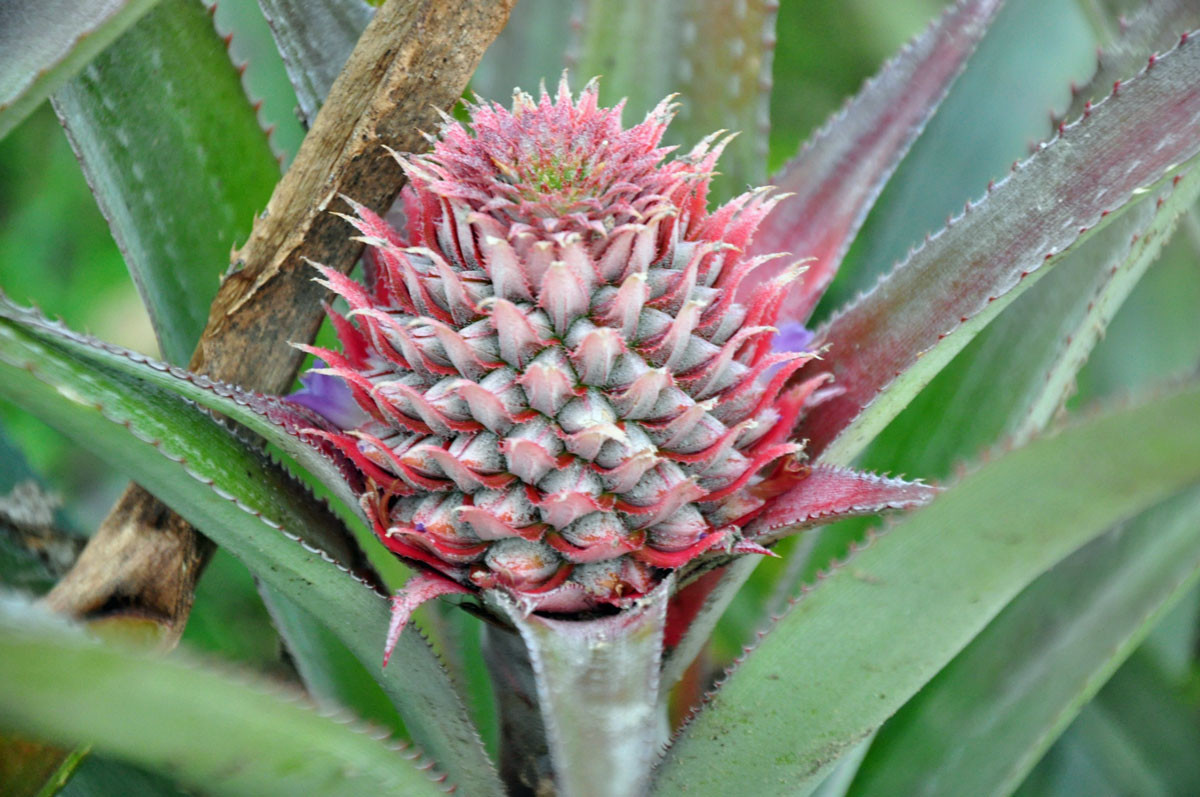 ontluikende ananasvrucht