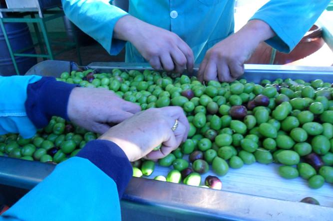 Extracción manual de aceitunas con desperfectos