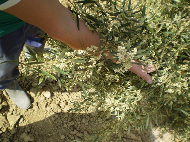 Muestra de flor de Corniche Real