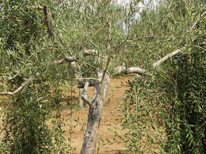 Detalle de olivo con injerto aún sin podar