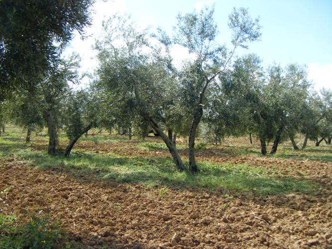 Posteriormente, el olivar se ara para oxigenar la tierra, aunque se mantienen zonas con hierba.