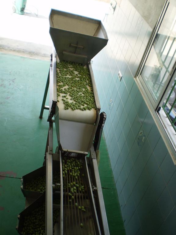Una vez recogido el fruto, se lleva directamente a la planta de procesamiento