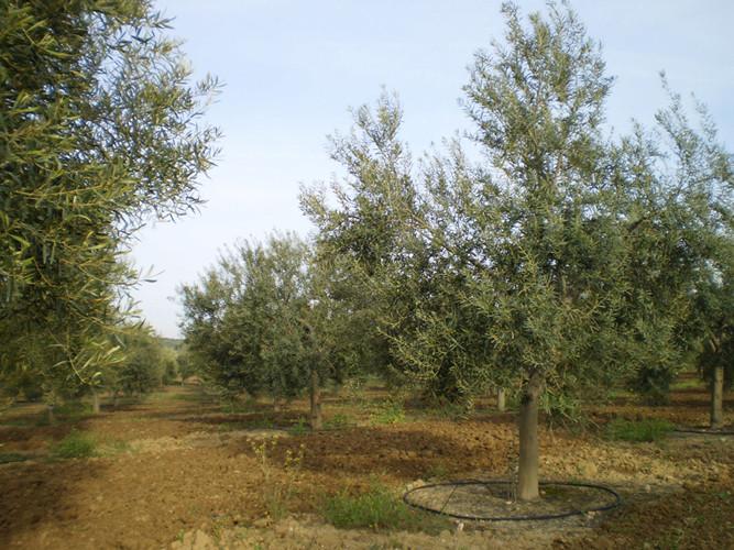 El olivar se carga de flores que más adelante se convertirán en las aceitunas La Ibérica