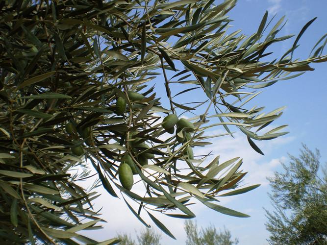 Por fin la aceituna está a punto de ser recogida. Aquí una muestra de Corniche Real en el árbol
