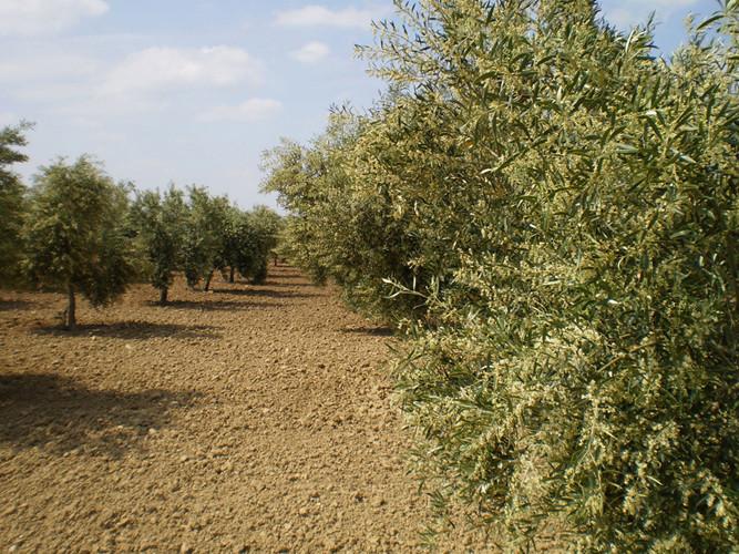 En primavera, la explosión de la flor del olivo es espectacular.