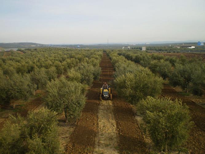 Arando el olivar