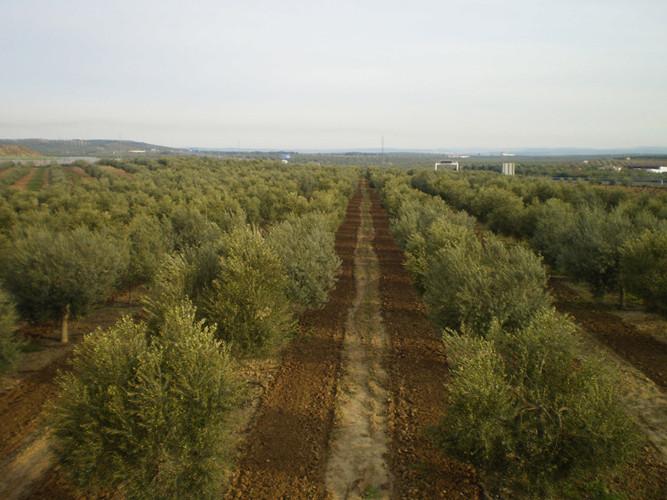 Arando el olivar para oxigenar la tierra