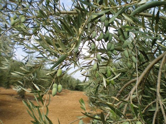 El fruto de nuestros olivos, la Corniche Real