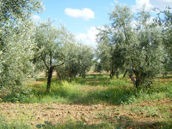 En primavera nuestro olivar se mantiene con hierba para colaborar a mantener la biodiversidad y favorecer la existencia de nitratos en el suelo