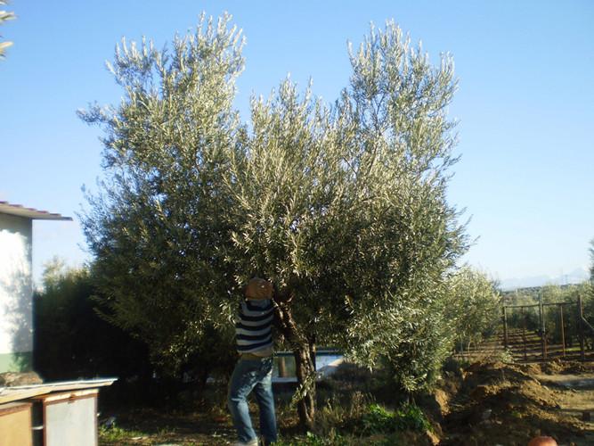 Uno de los momentos más importantes del mantenimiento del olivar es el de la poda del olivo,