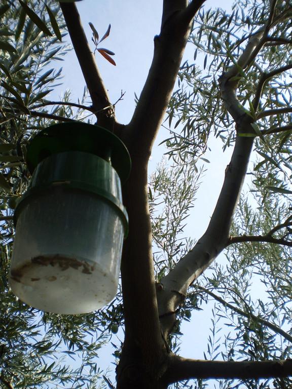 Nuestra finca cuenta con trampas para insectos que son perjudiciales para los olivos, sin afectar a los beneficiosos