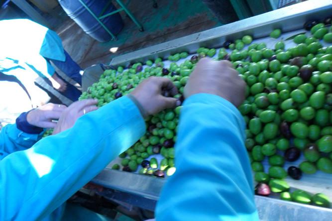 Se extraen a mano aquellas aceitunas que no cumplen los requisitos de calidad de nuestros productos