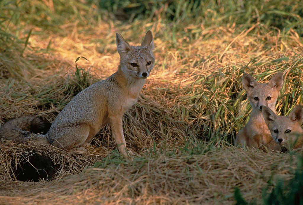 Американская лисица, или карликовая проворная лисица. Вес   тела — 2—3 кг.Высота в холке около 30 см, д