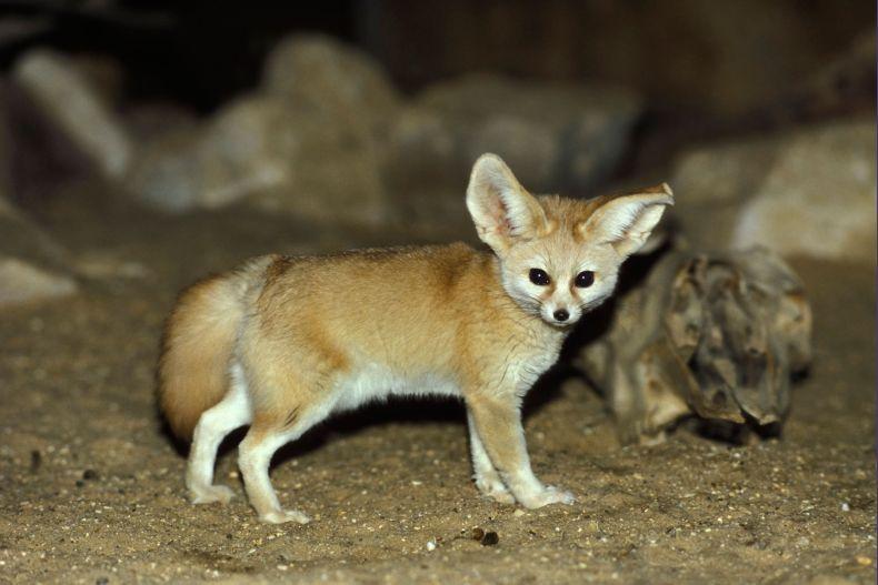 Африканская пустынная лиса.Фенек. Вес до 1,5 кг. Высота в холке 18-22 см.