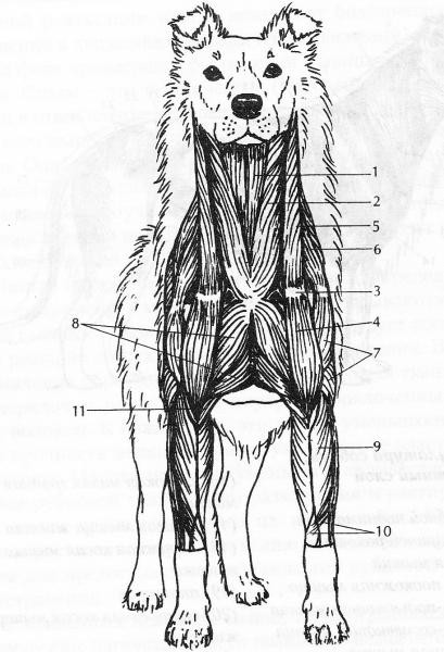 Анатоми тазобедрен сустав собак крем акулий жира для суставов в украине