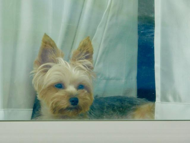 窓越しに犬