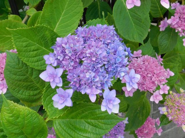 紫陽花、その3