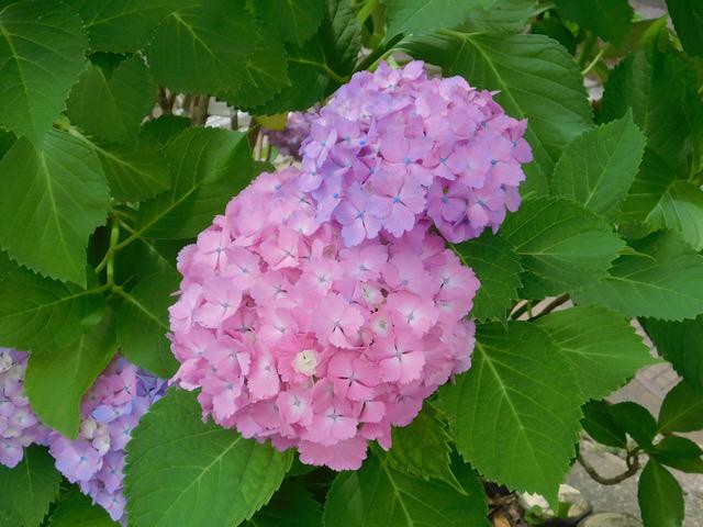 紫陽花、その5