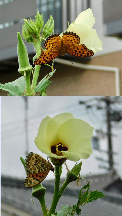 花にヒョウモン1013
