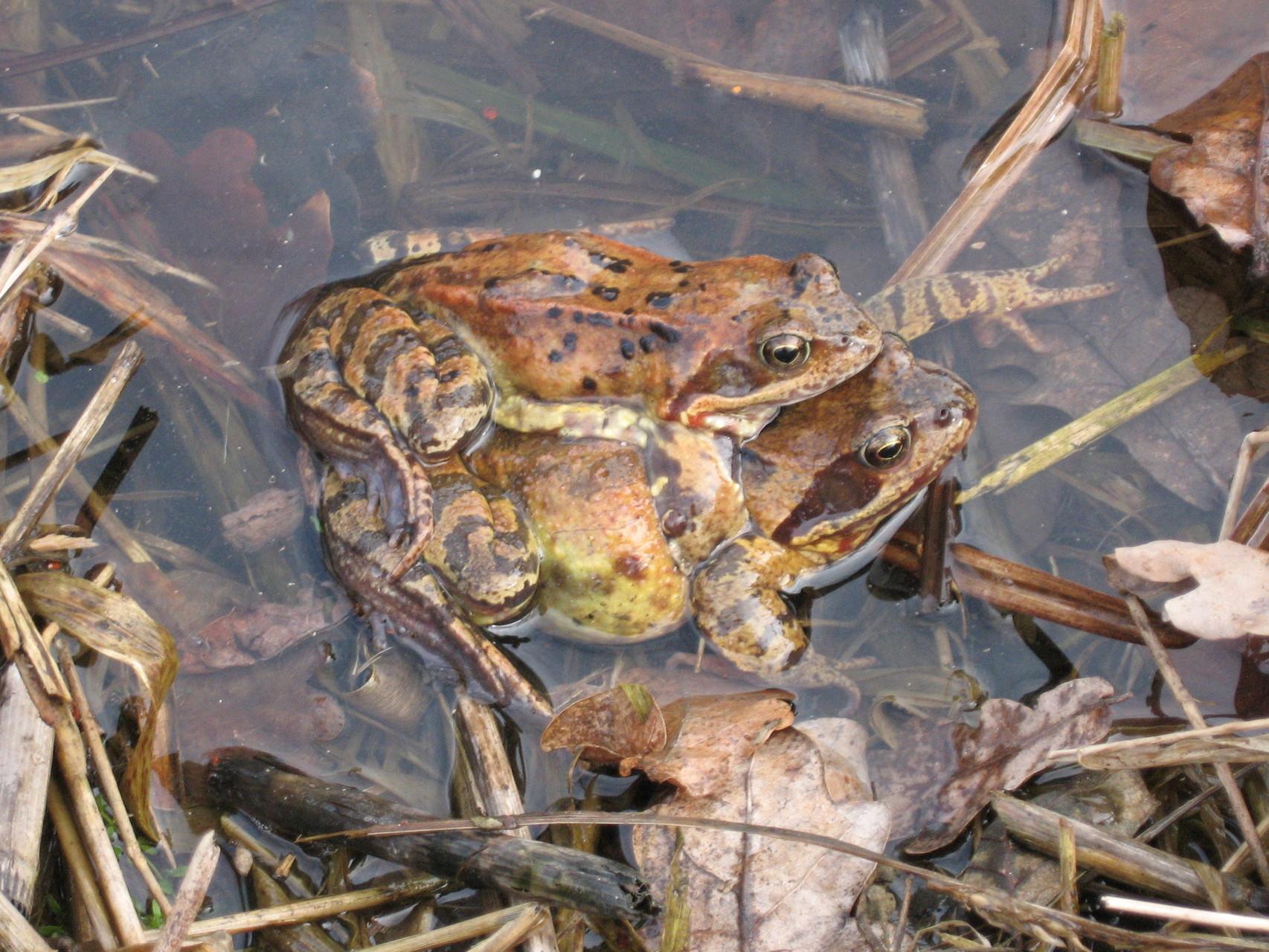 Grasfroschpaar im Laichgewässer Foto: S. Löw
