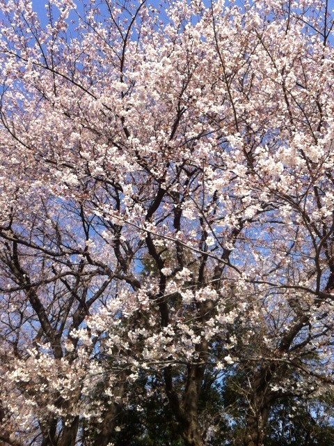 早く桜が咲かないかな~。