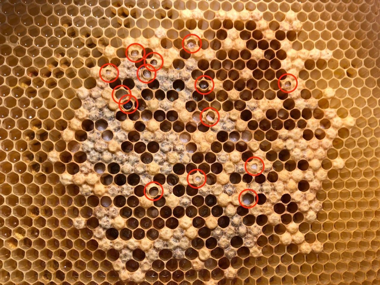 Wir machen mit beim Buckfast VSH Projekt mit dem Ziel, die Bienen nicht mehr behandeln zu müssen.